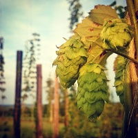 Our Hop Yard